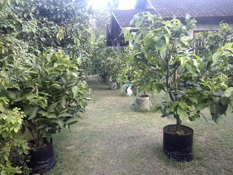 tanaman bpk Andreas