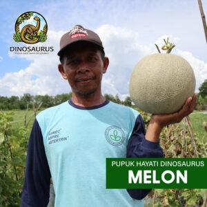 Hasil demplot pada tanaman melon