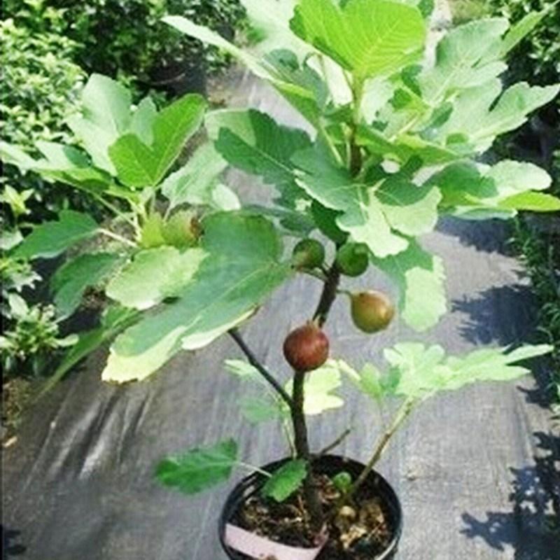 Pohon ara (tin) tambulampot